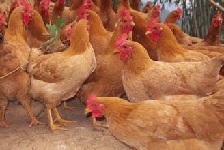 江村黄鸡饲养管理