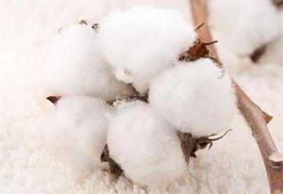 两会:推进棉花体制改革,解决棉花质量问题和供需矛盾