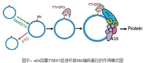 RNA甲基化修饰m6A:环形RNA可作为信使RNA来编码蛋白