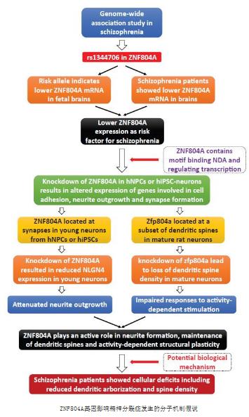 精神分裂症易感基因ZNF804A专题综述