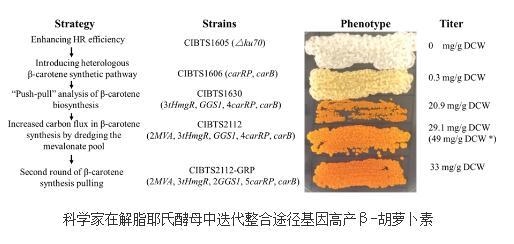 解脂耶氏酵母具备高产β-胡萝卜素的潜力