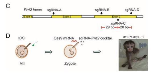 "C-CRISPR""技术:一步法获得基因完全敲除的小鼠和食蟹猴"