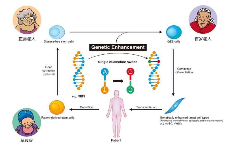 GES细胞:基因编辑技术的应用范围拓展