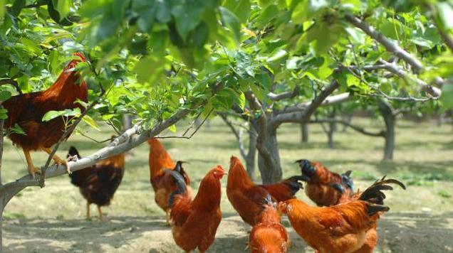 散养土鸡需要哪些重要的养鸡技术?
