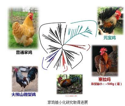 家鸡体型大小的遗传学机制研究进展