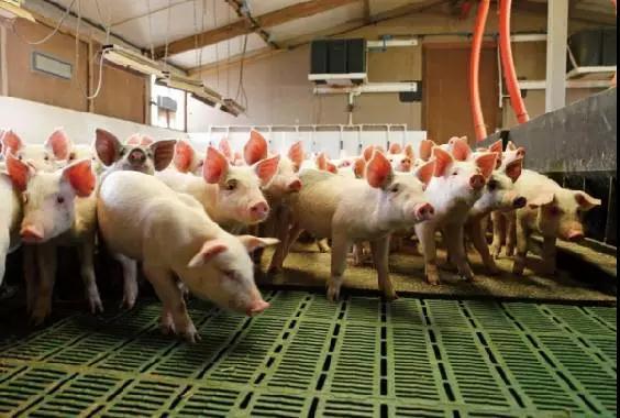 丹麦是世界第一的养猪强国:丹麦养猪技术大公开