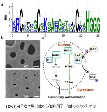 利用CRISPR/Cas9基因编辑技术创制iip4突变体负调控水稻次生壁的合成