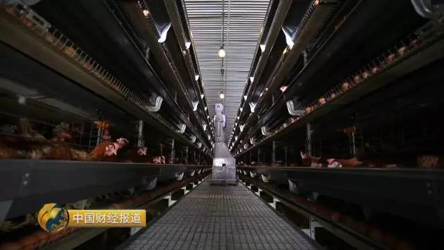 规模化的养鸡场是如何清洗、加工鸡蛋的?