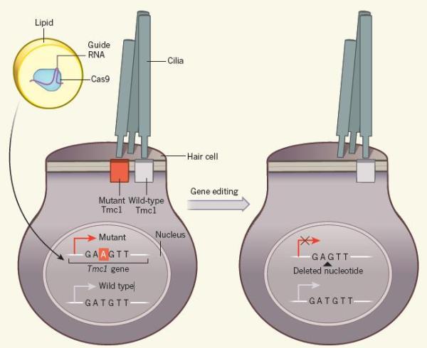 """用基因编辑技术治疗TCM1突变""""贝多芬小鼠""""的遗传性耳聋效果良好"""