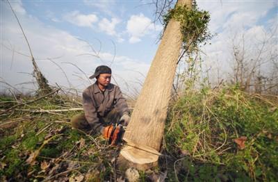 欧美黑杨大面积种植,侵蚀洞庭湖保护区湿地生态系统被清理