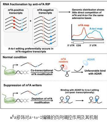 不同RNA修饰间的互作关系研究