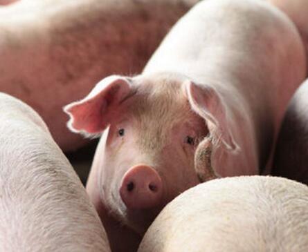 猪价不景气的情况下200多斤的肥猪要不要出手?