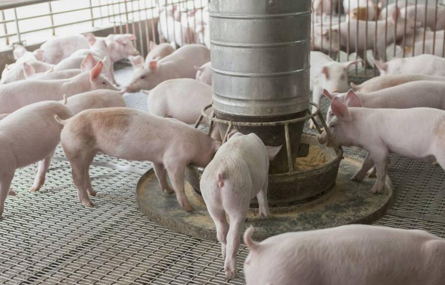 合理调节饲料营养可降低猪群疾病发生