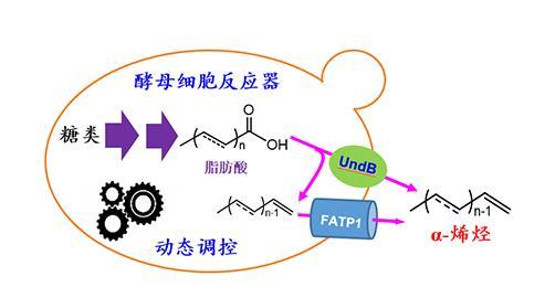 通过构建酵母细胞反应器,高效合成出长链α-烯烃