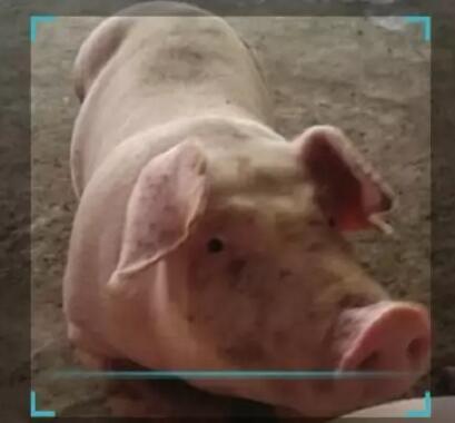 """""""猪脸识别""""悄然流行:人工智能融入养猪生产!"""
