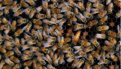蜜蜂养殖基础知识讲解