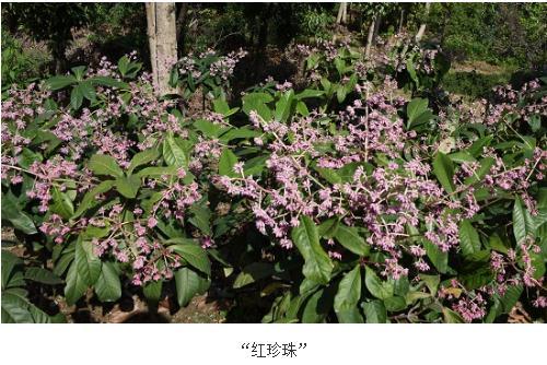 红珍珠:紫金牛属(Ardisia Sw.)新品种