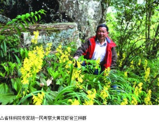 植物界的金丝猴:大黄花虾脊兰惊现泾县