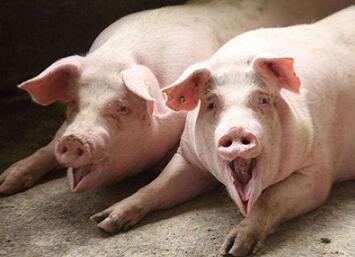生猪养殖跌破成本线全面亏损