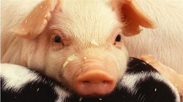 猪繁殖与呼吸综合征病毒:美转基因家畜监管存在分歧
