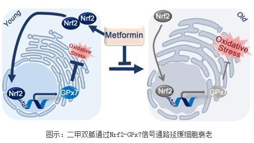 低剂量二甲双胍延缓正常人类细胞的衰老进程
