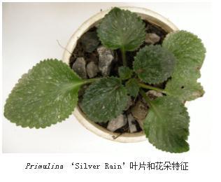 3个苦苣苔科报春苣苔属植物新品:晨光、白月光、银雨