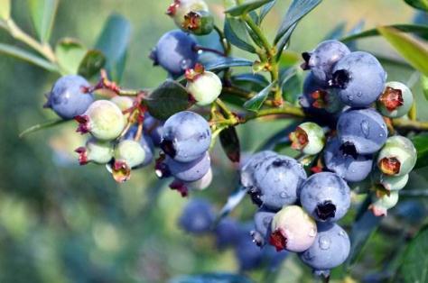 贵州主栽蓝莓品种果实大小品质特性分析