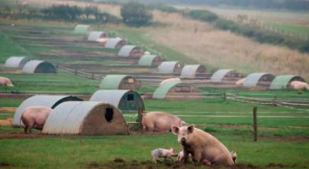 如何运用物联网养猪?