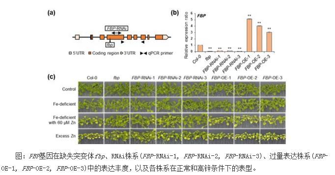 从新的视角揭示植物中铁、锌离子动态平衡的调控机制