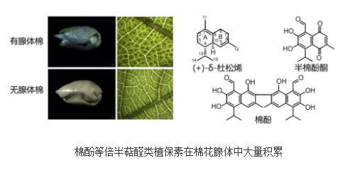 棉酚生物合成途径解析
