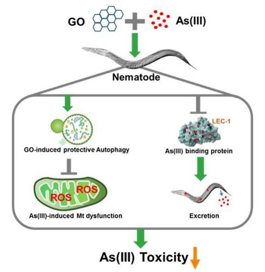 氧化石墨烯拮抗砷毒性的作用机制研究