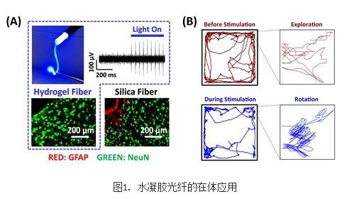 采用柔性可拉伸的水凝胶光纤建立在体柔性光遗传技术