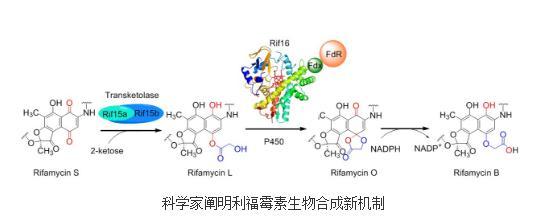 利福霉素SV转化为利福霉素B生物合成途径与机制