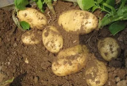 """""""减施增效高产栽培""""技术:内蒙古马铃薯产业创新实践和新技术应用"""