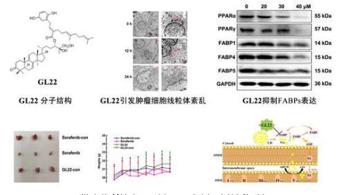 """GL22:微生物所等发现""""饿死""""肿瘤细胞的新机制"""
