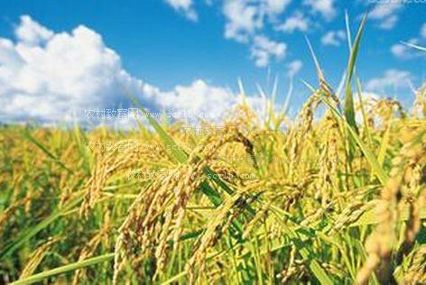 不同稻瘟病抗性基因的超级杂交稻新品种