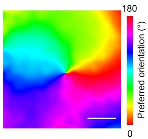 大脑皮层:研究脑区间连接的双色钙成像方法