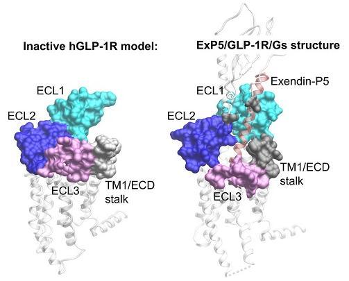 胰高血糖素样肽-1受体结构与功能研究进展