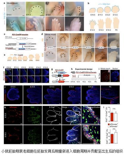 揭示小鼠胚胎发育过程中衰老细胞的命运