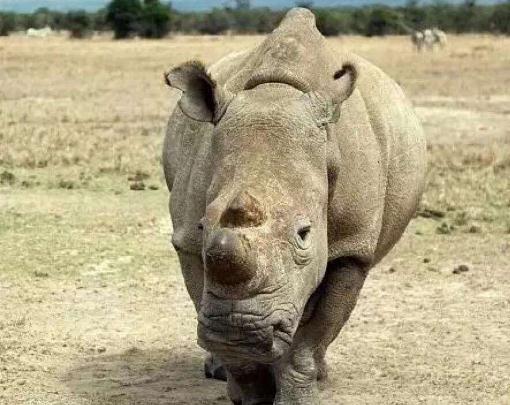 北方白犀牛:辅助生殖技术有望让濒危基因得以保留