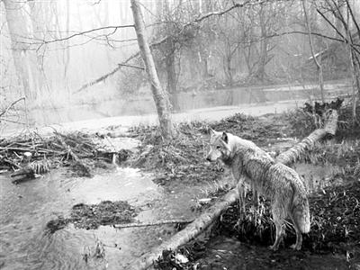 一只年轻的野狼走出了切尔诺贝利隔离区后