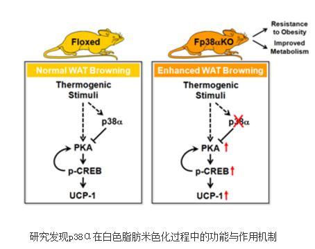 阐明p38α在白色脂肪米色化过程中的功能