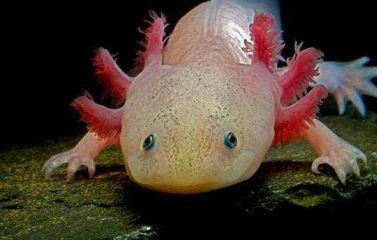 被称为蝾螈的火蜥蜴肢体具有再生功能