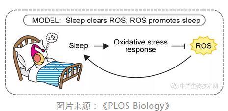 为什么要睡觉?睡眠的重要作用——抗氧化!