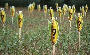 国内转基因玉米违规种植的背后原因探讨