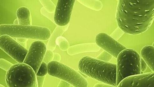 Cyanothece细菌白天产氧气,夜间产叶绿素