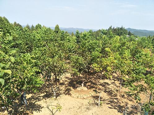 核桃幼树果园秸秆覆盖最优方案