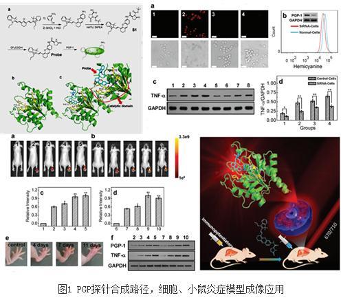 基于小分子荧光团设计探针在炎症和肿瘤的靶向成像方面取得系列进展