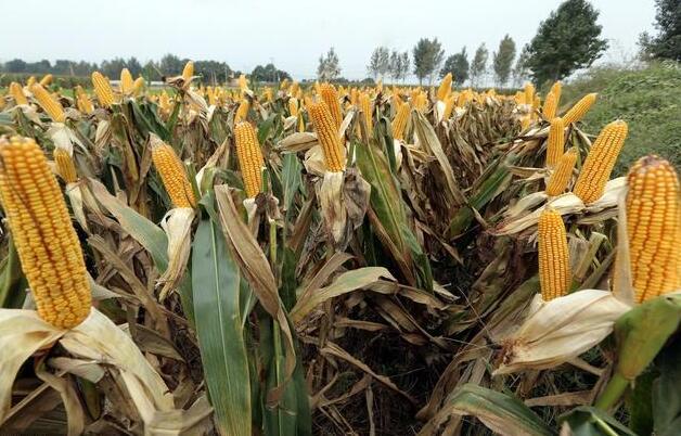 湖南农业大学浏阳基地科研玉米被盗,科研项目烂尾怎么办?