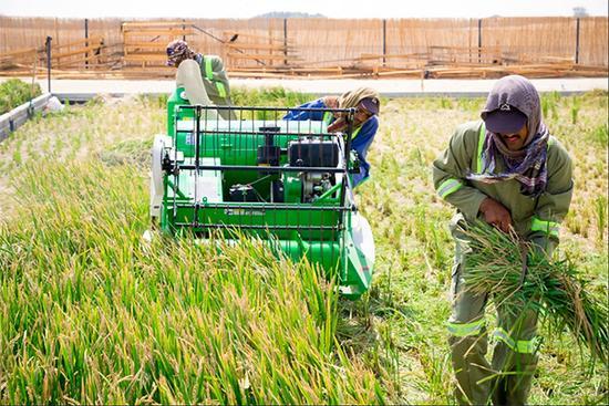 海水稻在迪拜沙漠试验种植成功,将在中东及北非地区推广!